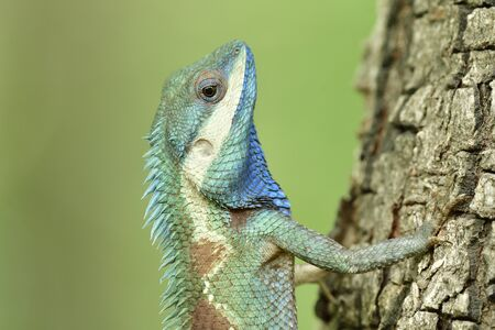 Close up head of Indo-chinese forest blue lizard, showing beautiful velvet and bright scales of retiles found in Thailand forest