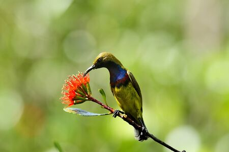 A male of olive-backed sunbird with red flower
