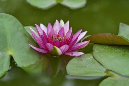 Pink Lotus Flower floating in water with green leafs