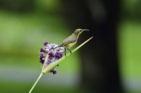 Olive-backed Sunbird with purple flower