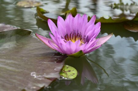 Pink and purple Lotus flower floating in the wave water Stock fotó - 150292426
