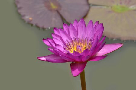 Pink waterlily or Lotus flower with purple leafs Stock fotó - 150292441