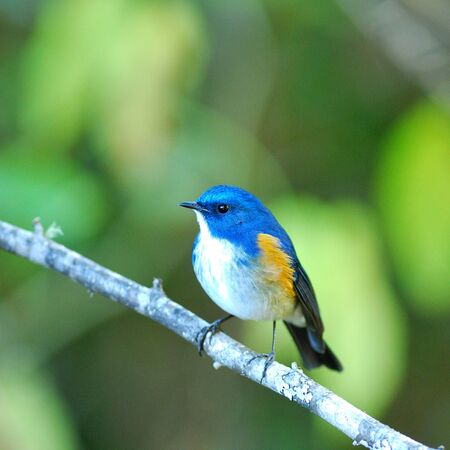 Portrait of Blue Bird Himalayan Bluetail (Tarsiger rufilatus) or Orange-flanked Bush Robin