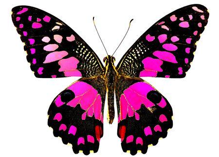 Sweet Pink Lime Butterfly Zdjęcie Seryjne