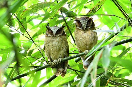 Two White-fronted Scops Owls stick together on the bamboo tree
