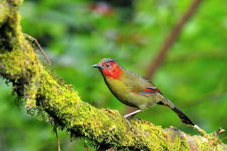 Red-faced Liochichla perching on a mossy branch with nice in details