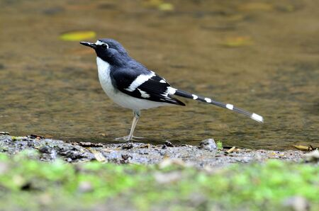 A Slaty-backed Forktail standing in the clear water in the stream