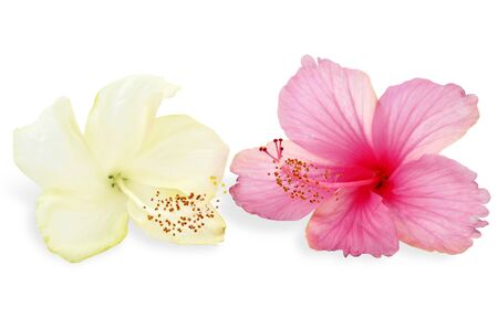 Pink and white hibiscus flowers on white background