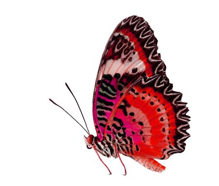 Red Butterfly, Leopard Lacewing, isolated on white background Stock Photo