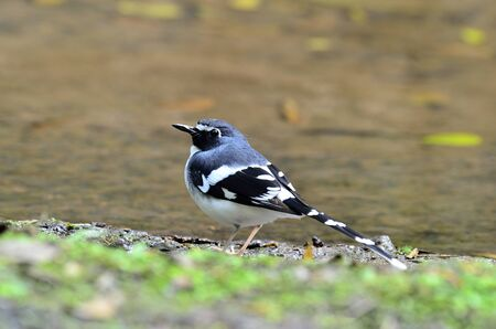 A very nice post of Slaty-backed Forktail with a clear detail of its back 写真素材