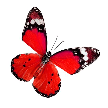 Plain Tiger Butterfly upper wings profile in Red color isolated on white background
