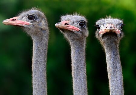 Triple of Ostrich heads closeup with funny looking