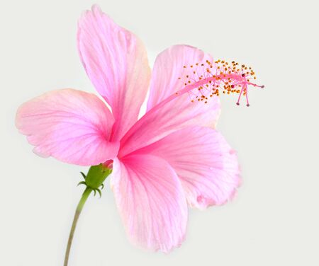 The beautiful of Pink Hibiscus flower isolated on white background