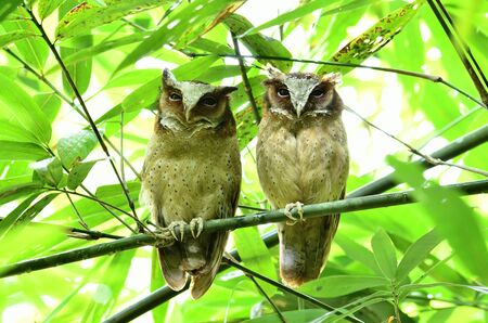 Very rare of White-fronted scops owls stick together in the dark bamboo bush