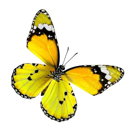Yellow Butterfly, Plain Tige, colortransparency isolated on white background Stock fotó - 150292667