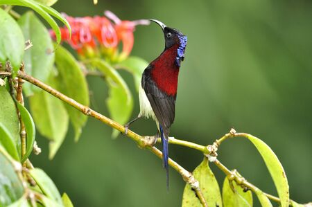 A male of Black-throated Sunbird sipping a sweet syrup from flower