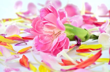 Pink Carnation flower lying among multicolor petals