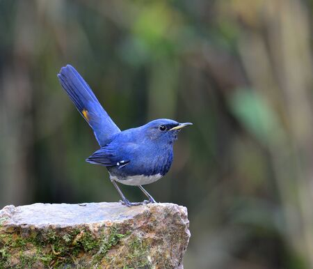 White-bellied Redstart bird, the beautiful blue bird standing on the rock with high tail up action Фото со стока