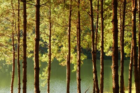 pine forest,a great background with lighting and texture for artwork Stock fotó - 150292691
