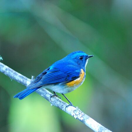 Lovely Blue Bird Himalayan Bluetail (Tarsiger rufilatus) or Orange-flanked Bush robin Stock Photo