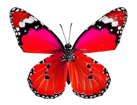 Plain Tiger Butterfly in Red and Pink color isolated on white background