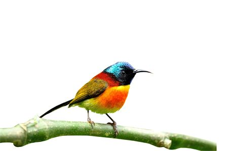 A nice and handsome Green-tailed Sunbird on white isolated background