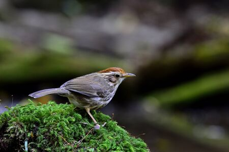 Puff-throated Babbler standing on a mossy