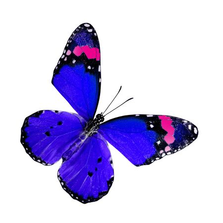 Plain Tiger Butterfly upper wings profile in Blue and Pink color isolated on white background Imagens