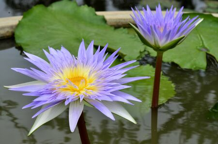 Purple and Yellow Lotus flower or water lily with nice leafs in the water