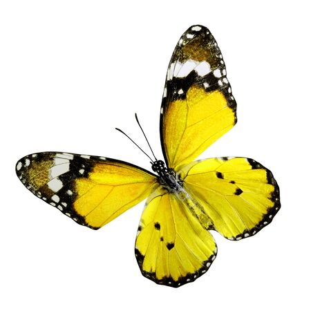Yellow Butterfly, Plain Tiger Butterfly, upper wings profile in color transparency isolated on white background