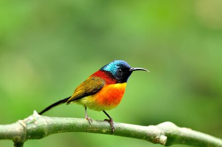 A nice and handsome Green-tailed Sunbird on a very clear background