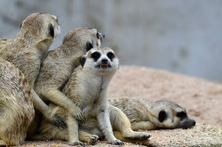 Meerkat or Meercat stick together as a family