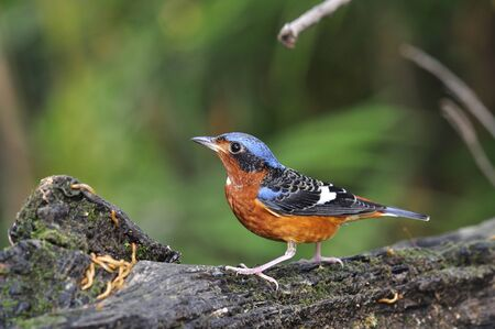 A safe gaurd of his meal of white-throated Rockthrush