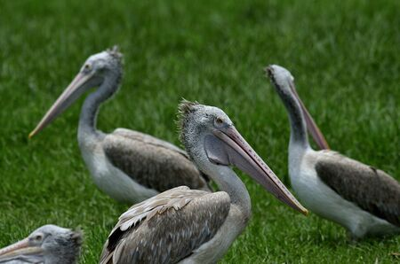 Spot-billed pelican stay close to each other on the green grass