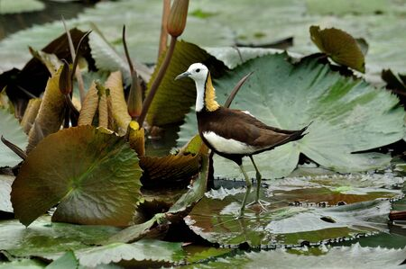 Pheasant-tailed Jacana standing on lotus leaf in swamp pond