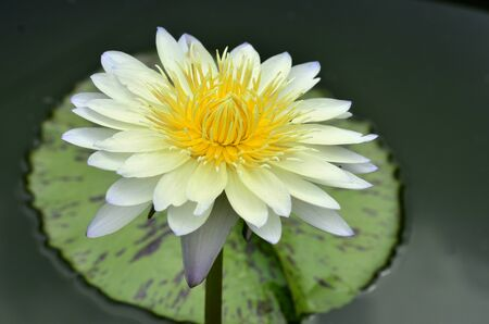 White waterlity or Lotus flower with nice lighting and capture Stock fotó