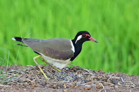 Red-wattled Lapwing hatching eggs in the opened nest, Vanellus indicus, bird with very best details