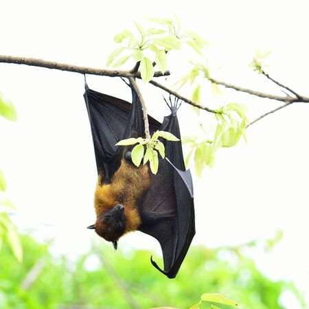 Sleepy Hanging flying fox on tree branch on white background
