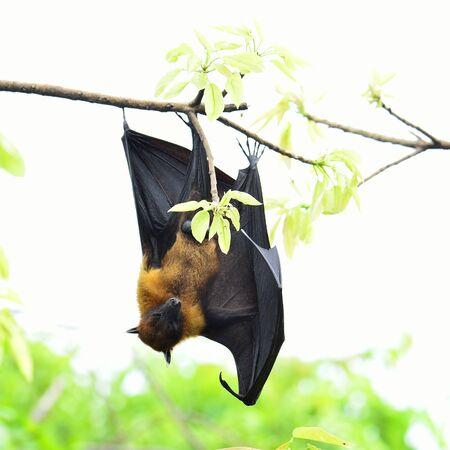 Sleepy Hanging flying fox on tree branch on white background Stock Photo