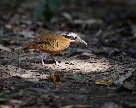 Male of Eared Pitta collecting worms food for it chicks Stock Photo