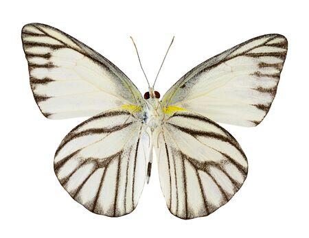 Striped Albatross butterfly (appais olferna swinhow) lower wing profile isolated on white background