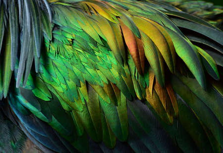 vibrant of velvet green to copper with grey mix in beautiful background of wild bird wing texture, nicobar pigeon feathers Stock Photo - 152427520