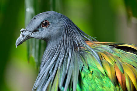 Close up head of Nicobar pigeon with face eyes and reflection feathers in details, exotic island bird Stock Photo - 152503893