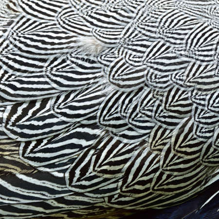 black and white texture of Lewis's Silver Pheasant wing (Lophura nycthemera lewisi) with amazed patterns in two tones Stock Photo