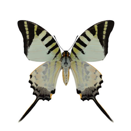 Close up on upper wings of beautiful green to orange and black stripes butterfly isolated on white background, fivebar swordtail Фото со стока