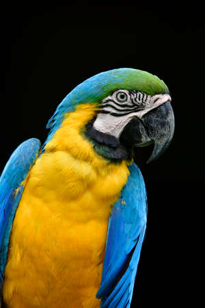 Close up face of blue and gold macaw with sharp eyes and feathers over black background, amaze animal
