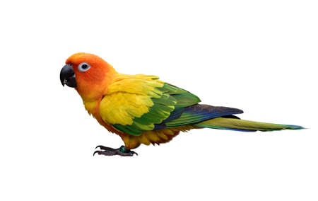 sun conure (Aratinga solstitialis) lovely yellow parakeet with beautiful green and blue feathers mixing isolated on white background