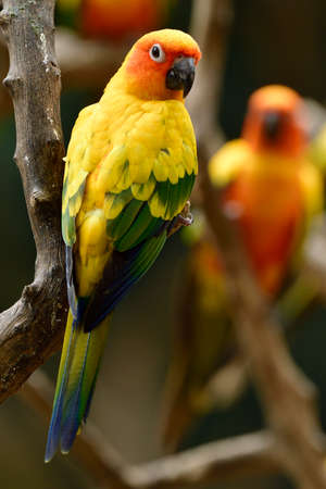 Cute yellow parrot perching on wooden staring toward photographers, sun conure small parrakeet