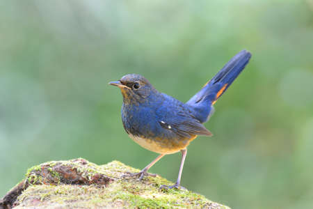 white-bellied redstart (Luscinia phaenicuroides) beautiful blue bird with tail wagging natural habitat in temperate forests Фото со стока