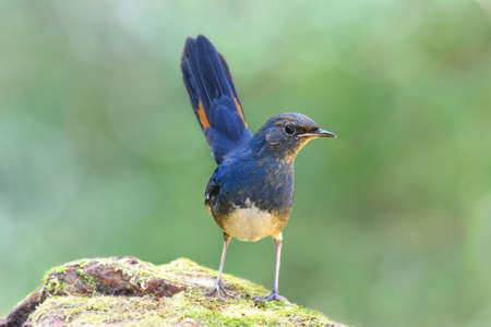 white-bellied redstart (Luscinia phaenicuroides) fascinated blue bird with tail wagging showing it yellow marking on feathers